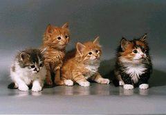 Породы кошек для одиночек thumbnail